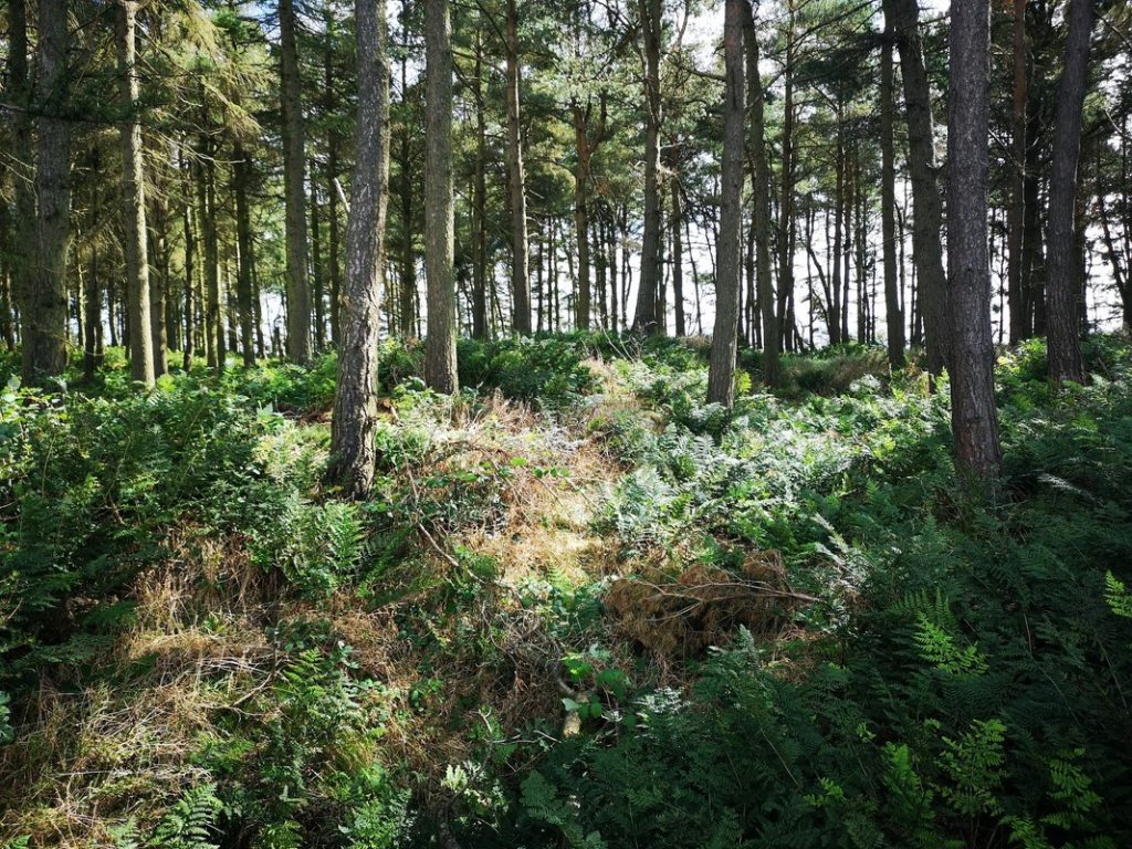 Pine woodland and bracken covered ground along Bunkle Edge.