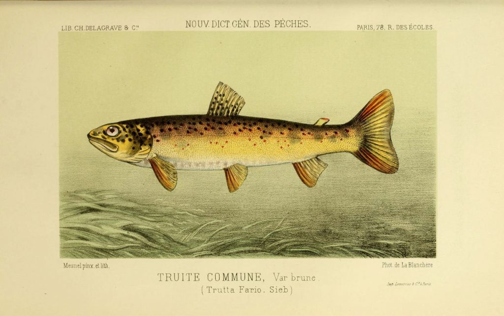 Drawing of a river trout.