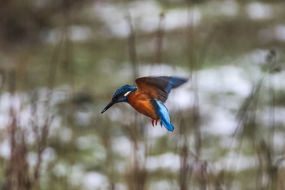 Kingfisher hovering in flight, looking for fish.