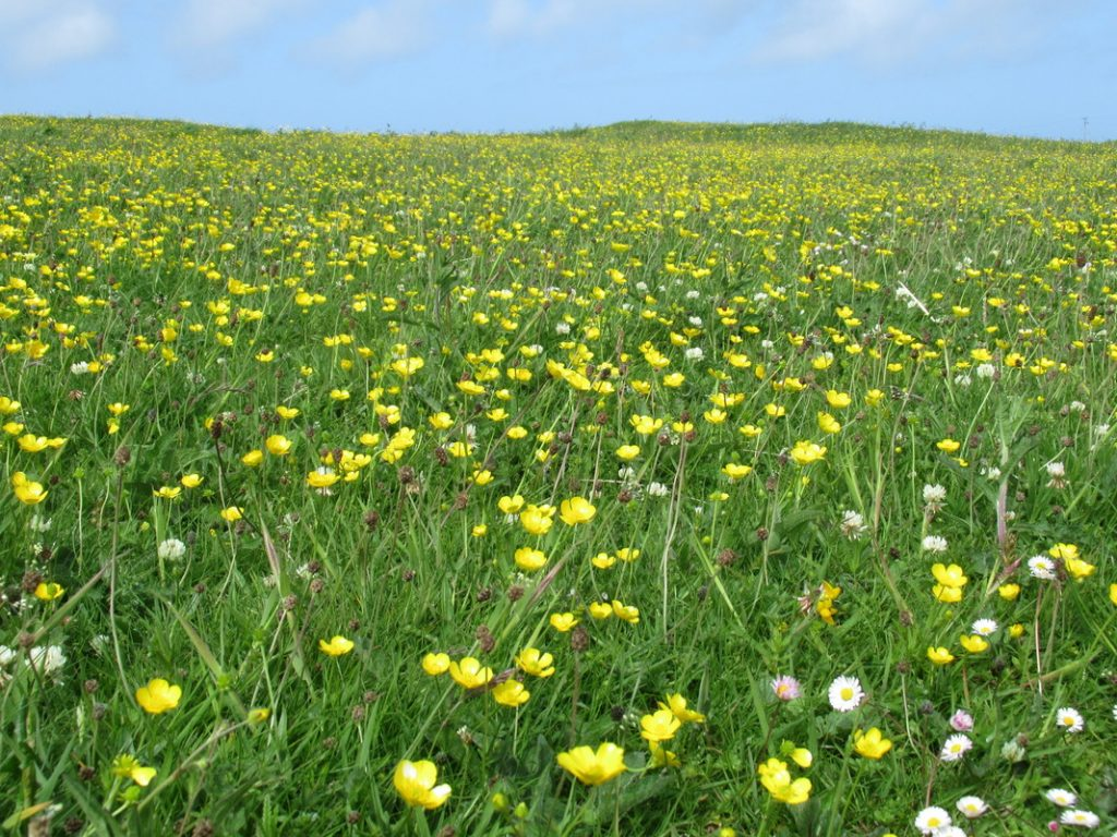 A carpet of buttercups, daisies and occasional orchids.