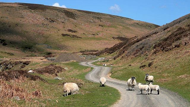 Sheep on a winding rough track that runs along a narrow valley