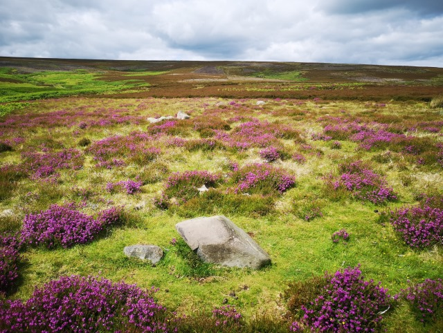 A ring of low stones in open moorland with purple heather