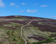 Lammermuir hillside covered in purple heather.
