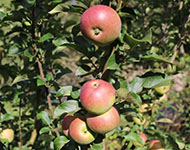 Apples in the orchard near Elba footbridge.