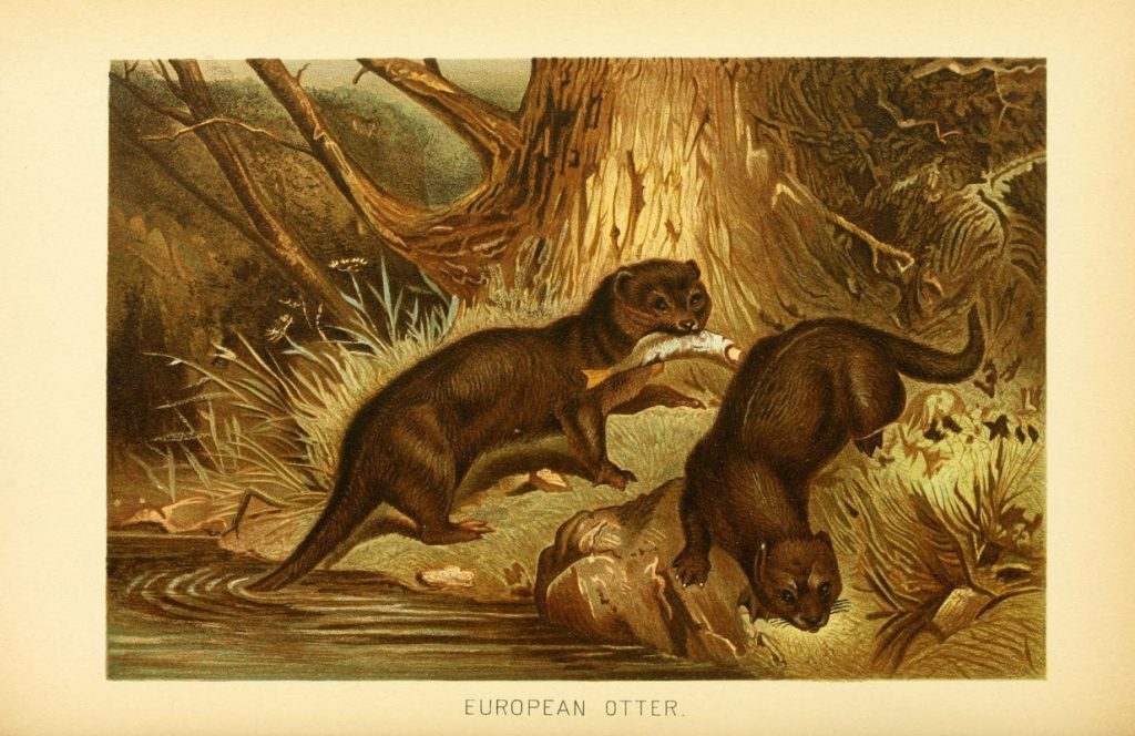 Drawing of the European Otter, late 19th century.